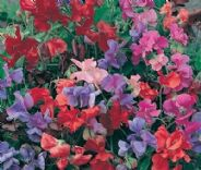 Sweet Pea Dwarf / Patio - Bijou Mix - 80 seeds - Annuals & Biennials